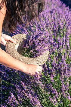 France, Provence Alps Cote d'Azur, Haute Provence, Plateau of Valensole. Woman picking up lavender flowers Lavender Cottage, French Lavender, Lavender Blue, Lavender Fields, Lavender Flowers, Purple Flowers, Lavander, Valensole, Flower Close Up