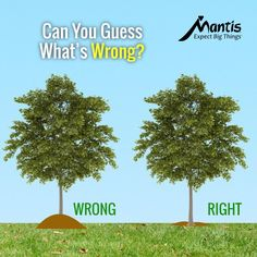 Don't make a mulch volcano around trees. Tree experts say it can suffocate the tree. Why? Because it covers the root flare of the tree; the parts of the tree meant to be exposed to air. Mulch the right way. Keep mulch 12 to 18 inches away from the trunk of any tree. Avoid burying the root flare (the base of the tree emerging from the soil). Spread mulch only 2 to 4 inches thick. Learn the best way to plant trees. Tree Mulch, Mulch Around Trees, Tree Borders, Tree Base, Water Wise, Fruit Plants, Allotment, Outdoor Plants, Gardens