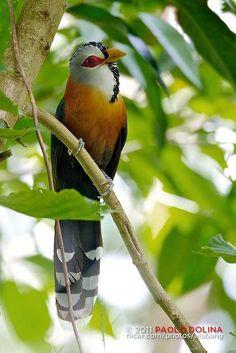 Scale-feathered Malkoha (Phaenicophaeus cumingi), endemic to the Philippines