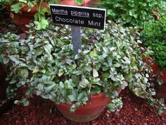 Chocolate Mint Plant- Mint plants attract butterflies and bees to the garden.