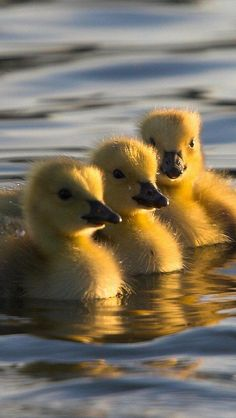 3 Little Ducklings Baby Animals Super Cute, Cute Little Animals, Cute Funny Animals, Funny Cats, Farm Animals, Animals And Pets, Cute Ducklings, Baby Ducks, Tier Fotos