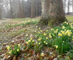 Spring is springing at Fairhaven - daffodils 12/4/13