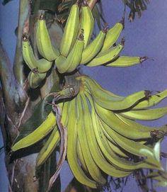"Musa Plantain ""African Rhino Horn"" Banana tree"