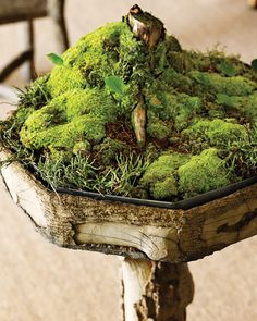 Don't be afraid to add moss to your garden. Some of our favorite types for shady areas are Bryopsida or Musci. Be sure that these are grown in moist areas where they'll thrive. Dwarf Bamboo, Container Gardening, Gardening Tips, Growing Moss, Gothic Garden, Boxwood Topiary, Moss Art, Moss Terrarium, Colorful Plants