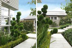 POM POM TREE: Cloud pruned Juniperus 'Kaizuka' provides a sense of fun in the garden