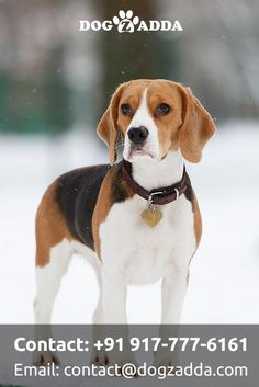 beagle dog And that gorgeous seemably untrainable pup turns into this handsome adult and wonderful family pet!thats the beagle part in Walt! Cute Beagles, Cute Puppies, Dogs And Puppies, Pet Dogs, Dog Cat, Doggies, Animals And Pets, Cute Animals, Beagle Puppy