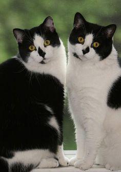 Beautiful black and white cats by mavis.