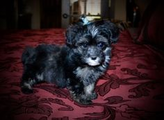 Morkie puppy for sale in GRAYSON, LA. ADN-25690 on PuppyFinder.com Gender: Male. Age: 7 Weeks Old