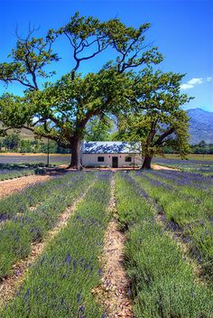 When you volunteer with Via Volunteers, you will have the chance to see how beautiful South Africa is! Lavender Fields, Franschoek.
