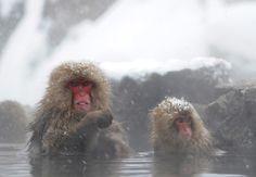 Cold Monkeys Take A Bath In Hot Springs