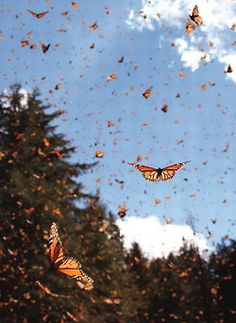 Migrating monarch butterflies Danaus plexippus travel south for hundreds of miles in the fall flying at a speed of approximately Photo from Aesthetic Iphone Wallpaper, Aesthetic Wallpapers, Cute Wallpapers, Wallpaper Backgrounds, Twitter Backgrounds, Reisen In Europa, Butterfly Wallpaper, Butterfly Background, Butterfly Art