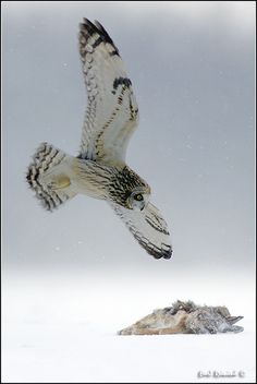 Short Eared Owl in flight of Prey Beautiful Owl, Animals Beautiful, Owl Bird, Pet Birds, Owl Pictures, Owl Photos, Short Eared Owl, Happy Animals, Wild Animals