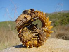 It is also commonly known as typical girdled lizard, armadillo lizard, golden armadillo lizard, and armadillo spiny-tailed lizard- south africa