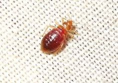 Bed Bug Pictures: Bed Bug on White Cloth Six Legged Insect, Bed Bug Control, Pest Control, Bed Bugs Pictures, Bed Bug Bites, Insects, Flat, Health, Salud