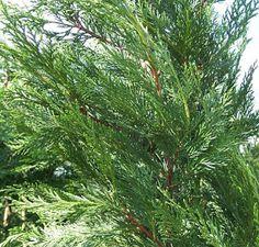 Trees Planet: Cupressocyparis leylandii - Leyland Cypress Leylandii Hedge, Conifer Plants, Monterey Cypress, Vascular Plant, Evergreen Trees, Plants Online, Ornamental Plants, Planting Seeds, Hedges