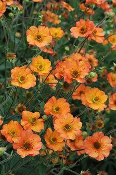 Geum 'Totally Tangerine': New from Hardy's Cottage Garden Plants ...