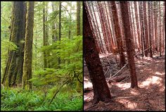 Old Growth vs Second Growth.jpg