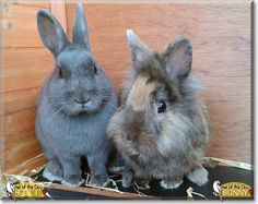 Read Bunny, Feli's story the Lion head mix, Dutch Bunny from Frankenthal, Germany and see her photos at Pet of the Day http://PetoftheDay.com/archive/2015/January/27.html