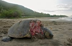 Short story about a turtle tragedy on Troncones beach Mexico. Where a turtle was possibly devoured alive by beach dogs. Dog Beach, Short Stories, Documentaries, Turtle, Mexico, Dogs, Pictures, Animals, Photos