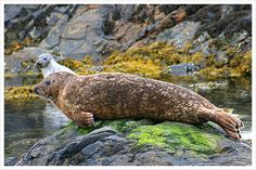 Seal spotting on Islay - common seal in foreground with a grey coloured seal in the backgound