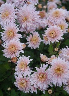 Mum Helen Mae -- Bluestone Perennials