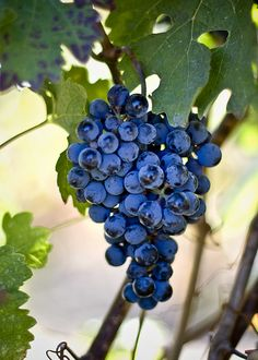 Napa Grapes by napaeye (James Tennery), via Flickr. Don't these look drinkable! ;)