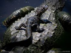 Baby alligator riding on mother.