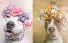 Pit bulls have a bit of a vicious reputation. But photographer Sophie Gamand has set out to capture the breed's softer side by showing the d...