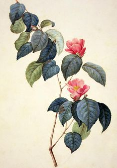 Camellia Japonica Painting by Pierre Joseph Redoute