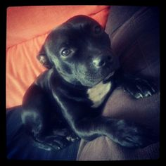 My beautiful staffy ♥ Baby Puppies, Dogs And Puppies, Doggies, English Staffordshire Bull Terrier, Cute Pitbulls, Animals And Pets, Cute Animals, A Dogs Purpose, Staffy Dog