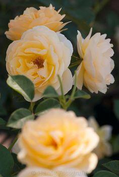 Golden Celebrations, Shrub.  English Rose Collection. Bred by David C. H. Austin 1992 | © Tina & Horst Herzig