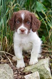english springer spaniel puppy - Google Search