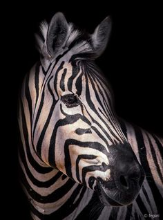 Zebra Stripes by fegari .