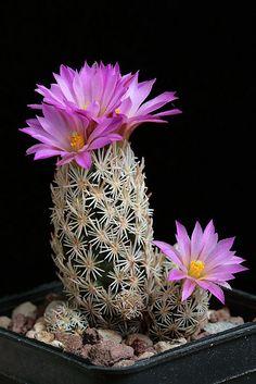 Cactus and Succulents 112 Cactus Flower, Flower Garden, Flower Pots, Plants, Beautiful Flowers, Flowering Succulents, Flowers, Northwest Flowers, Planting Succulents