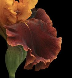 ". ""Bronze on Black"" by Holly Cawfield Bearded Iris The previous owner of our house planted these mixed into white/purple iris. Beautiful!!!!"