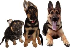 Core Areas of German Shepherd Psychology | MYGERMANSHEPHERD.ORG