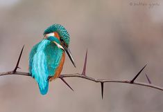 ~~ Kingfisher by Zoltan Gyori ~~