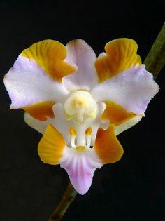 Phalaenopsis pulcherrima champornensis -   Flickr - Photo Sharing!