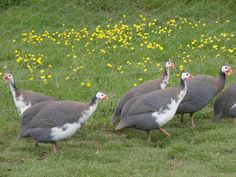 Good guide about rearing and breeding of Guinea fowl.Brooding and hatching of guinea keets(chicks).