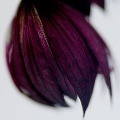 The petals were so soft they could have been feathers plucked from a sparrow with violet wings and black eyes. Plum Purple, Purple Haze, Shades Of Purple, Magenta, Mauve Color, Periwinkle, Rock Flowers, Gothic Garden, Colorful Roses