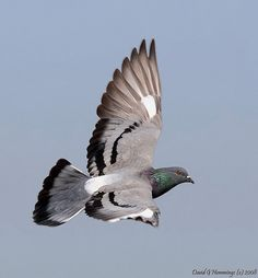 Common Rock Pigeon | by Nature's Photo Adventures - David G Hemmings