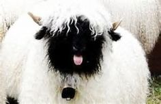 Valais Blacknose Sheep offering his opinion.