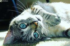 Cute cat with blue eyes https://www.youtube.com/c/WeMeow #cat #cats #wemeow #meow #catlife #cutecat #catlove #lovecats #gatos #gatti #koty #katze #chats #kitty #kitten #kittens #lovecat #funnycat #cateye #beautifulcat #nicecat #amazingcat #catlooking #catofinstagram #catsoftumblr #catstagram #instapets #instacat #pet #pets