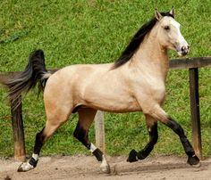 Lusitano stallion, Guepardo Interagro. photo: Tupa.