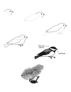 Chickadee (Black-capped) Drawing Lesson, draw a chickadee Painting & Drawing, Cap Drawing, Drawing Sketches, Sketching, Bird Drawings, Realistic Drawings, Easy Drawings, Animal Drawings, Drawing Birds