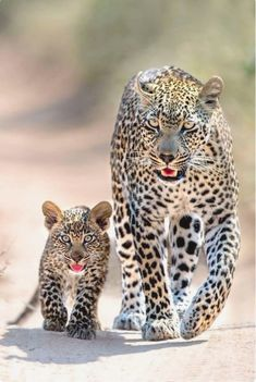 Super Baby Animals With Mom Big Cats Ideas Big Cats, Cats And Kittens, Cute Cats, Baby Kittens, Nature Animals, Animals And Pets, Wildlife Nature, Zoo Animals, Wild Animals