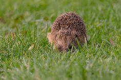 Claes`s Photo blog: hedgehog day