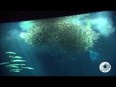 Have you ever watched 17,000 sardines eat breakfast?