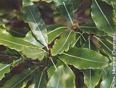 """bestgardening.com - Pittosporum eugenioides - """"The Lemonwood is a small tree with light green wavy-margined leaves, growing quite quickly to a 5.0-10.0m"""" Small Trees, Event Calendar, Native Plants, Plant Leaves, Gardening, Green, Lawn And Garden, Horticulture"""