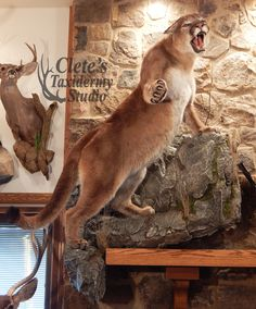 Full time master taxidermist in Ebensburg, PA Mountain Lion Hunting, Bear Mounts, Trophy Rooms, Supreme Wallpaper, Archery Hunting, Animal Sketches, Wildlife Art, Deer, Lions